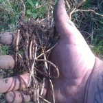 A handful of root from one fork of soil